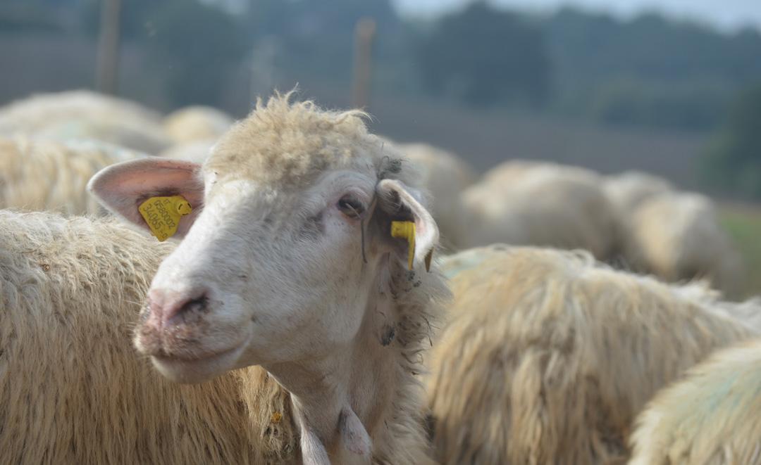 perché carne biologica pecora